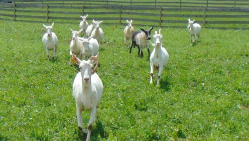 Ezra Peachy milking goats