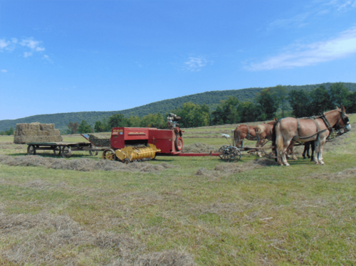 Bailing hay on the Esh farm—a rest for the mules