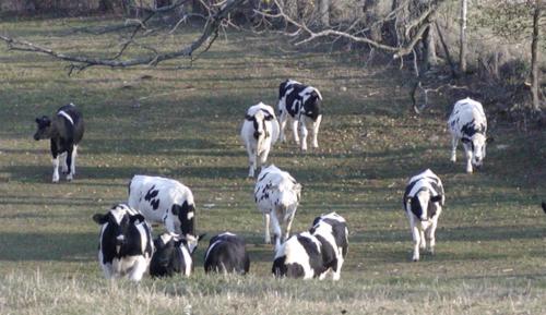 Heifers on pasture