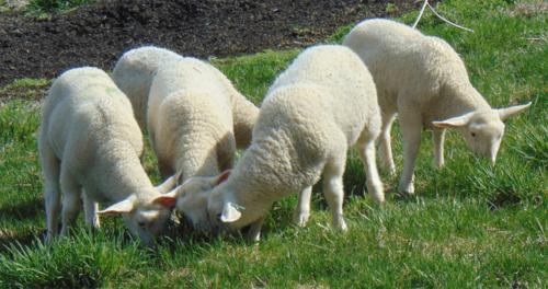John Zook's sheep